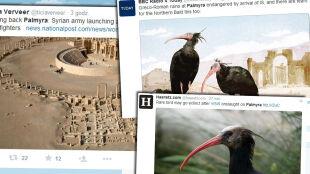Ibis grzywiasty może wyginąć, bo Państwo Islamskie zajęło Palmirę