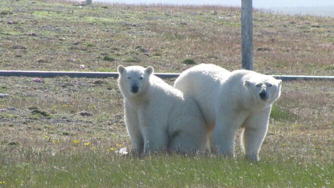 Naukowcy boją się wyjść z bazy. Sterroryzowały ich niedźwiedzie